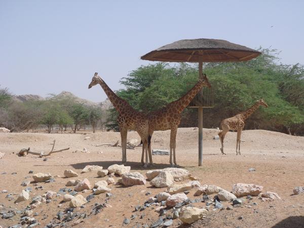 Giraffes at Al Ain zoo