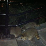 Montreal, Mont Royal, Racoons in Montreal
